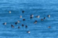 Borgarfjördur höfn Hafnarhólmi macareux islande iceland