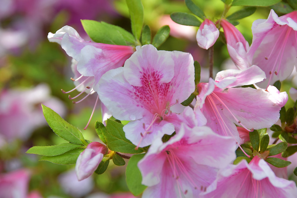 villa taranto verbania jardin azalées rose