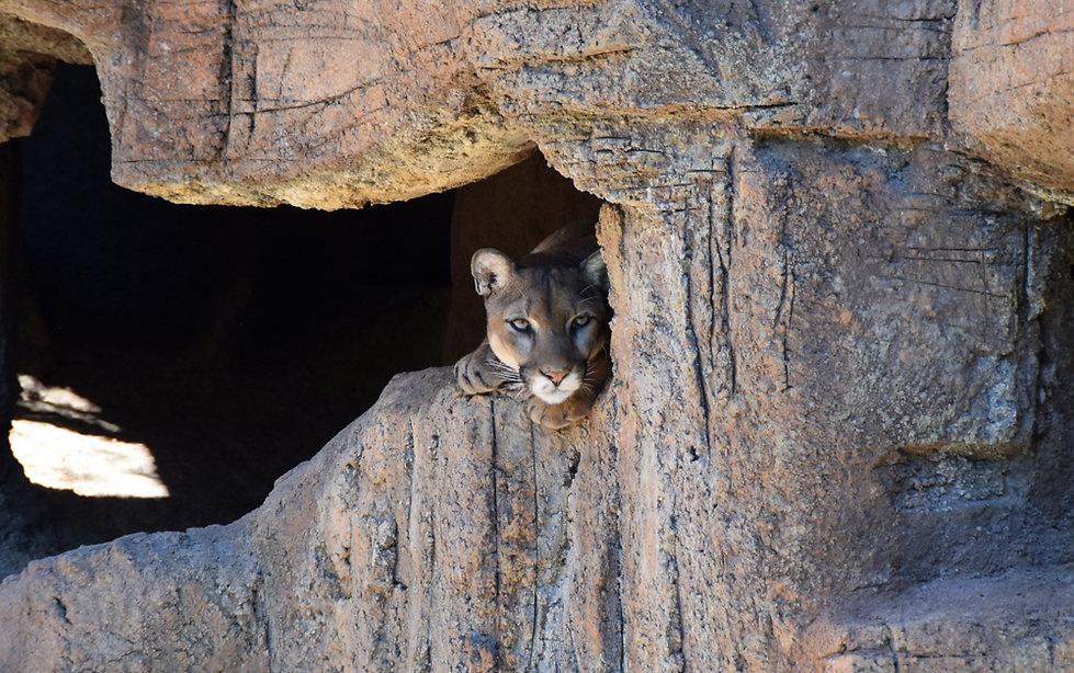 Arizona Sonora Desert Museum - puma - cougar - mountain lion