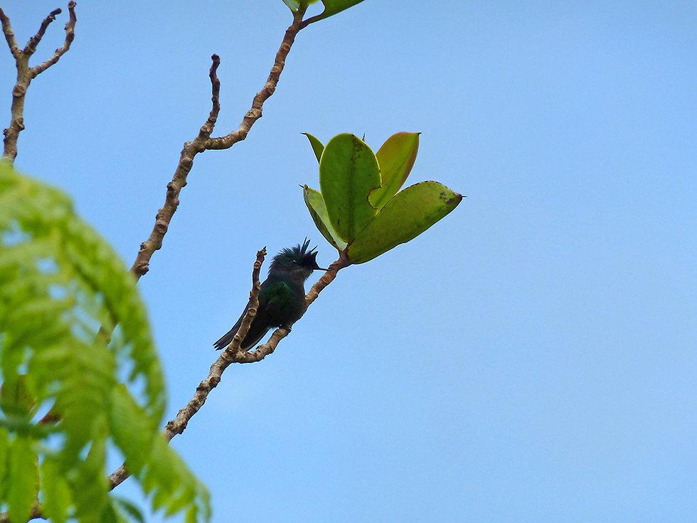 Guadeloupe - colibris huppé