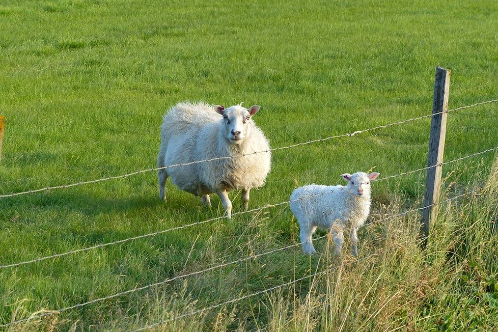 Islande - péninsule de Vatnsnes - moutons