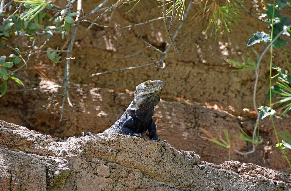 Arizona Sonora Desert Museum - Iguane à queue épineuse