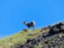 Yellowstone National Parc bighorn sheep