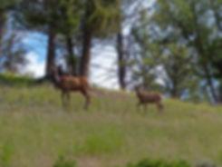 Yellowstone National Parc biche faon