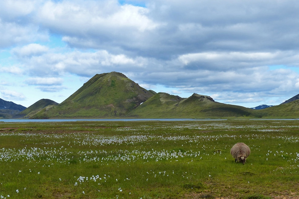 iceland island f208 mouton