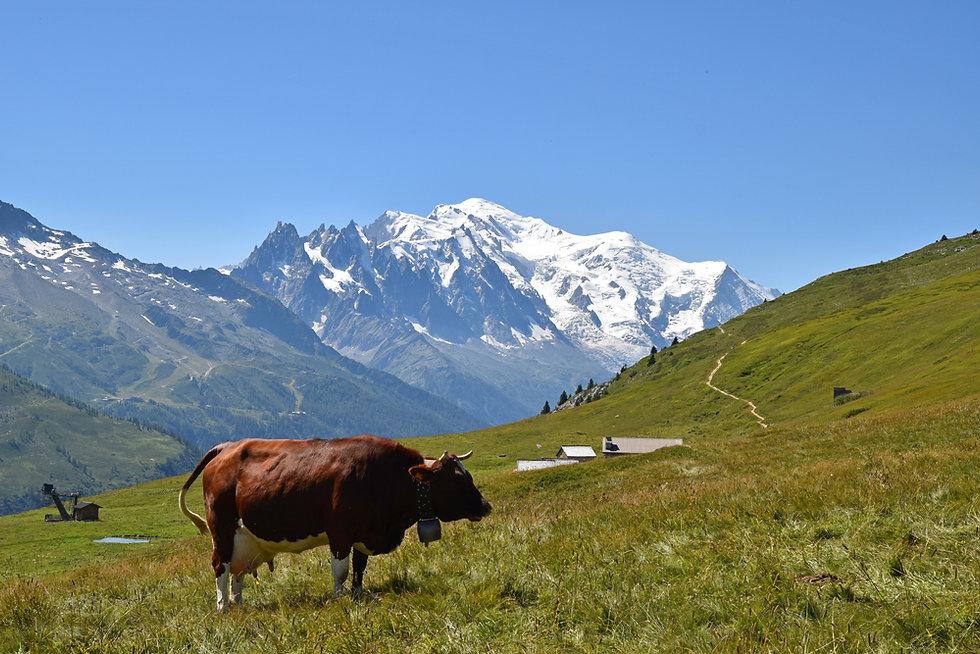 Chamonix - Aiguillette des Posettes - vache
