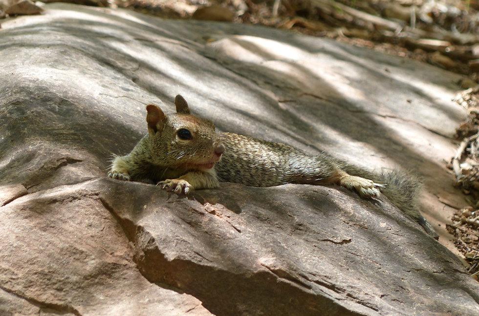 Arizona - Grand Canyon National Park - Bright Angel Trail - Indian Garden - ecureuil