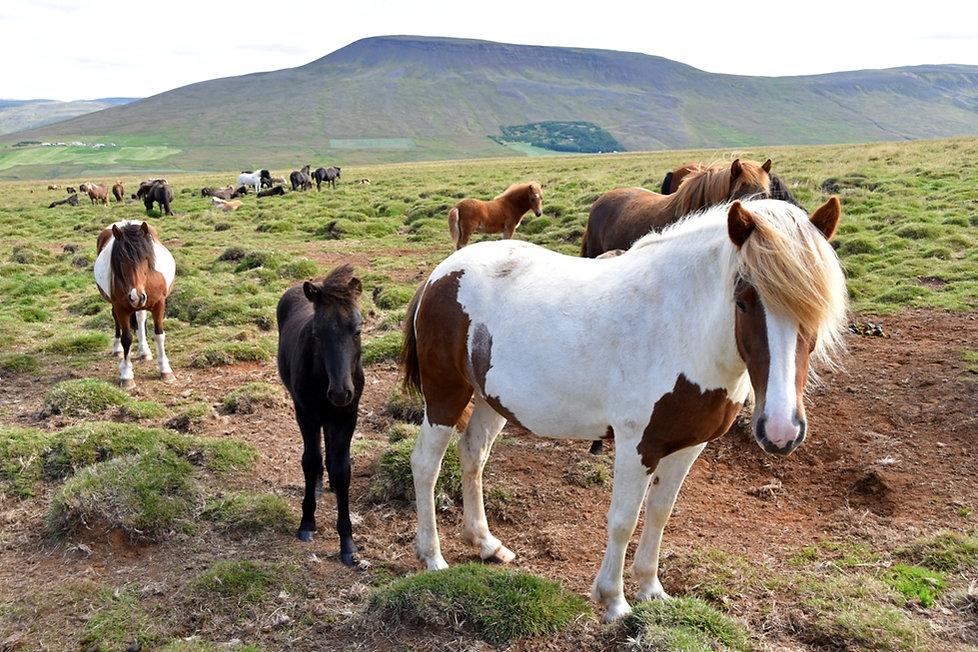Islande cheval chevaux islandais