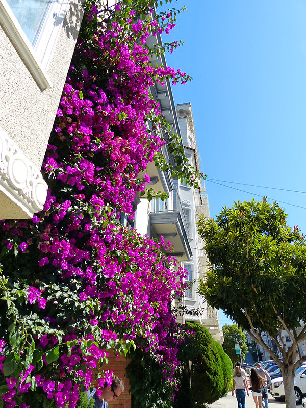 San Francisco bougainvillier