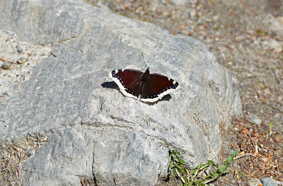 Chamonix - Rochers des Mottets - Papillon