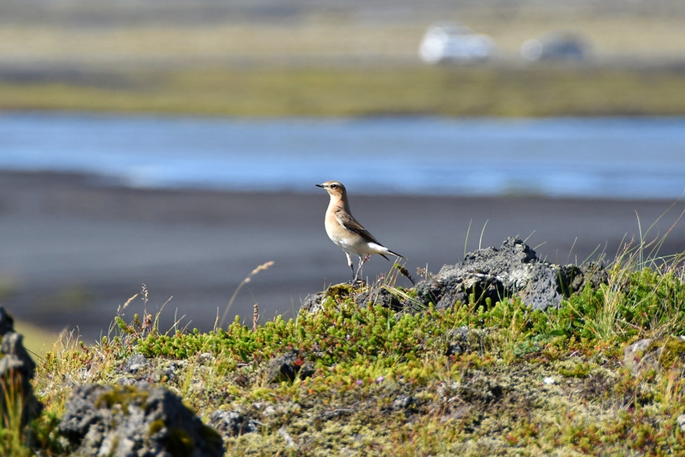 oiseau islande bird iceland