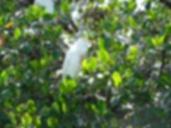 Grand cul de sac marin - mangrove - aigrette