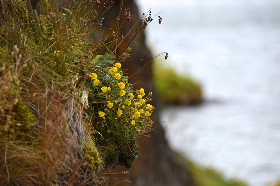 islande iceland lac Myvatn Stripar fleurs jaunes
