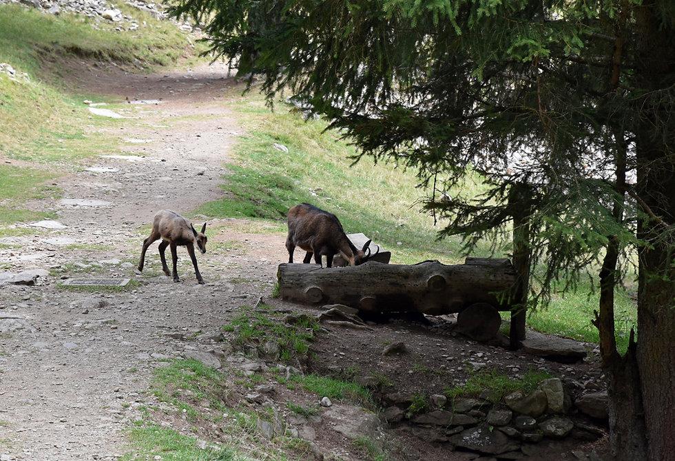 Chamonix - les Houches - Parc de Merlet - chamois