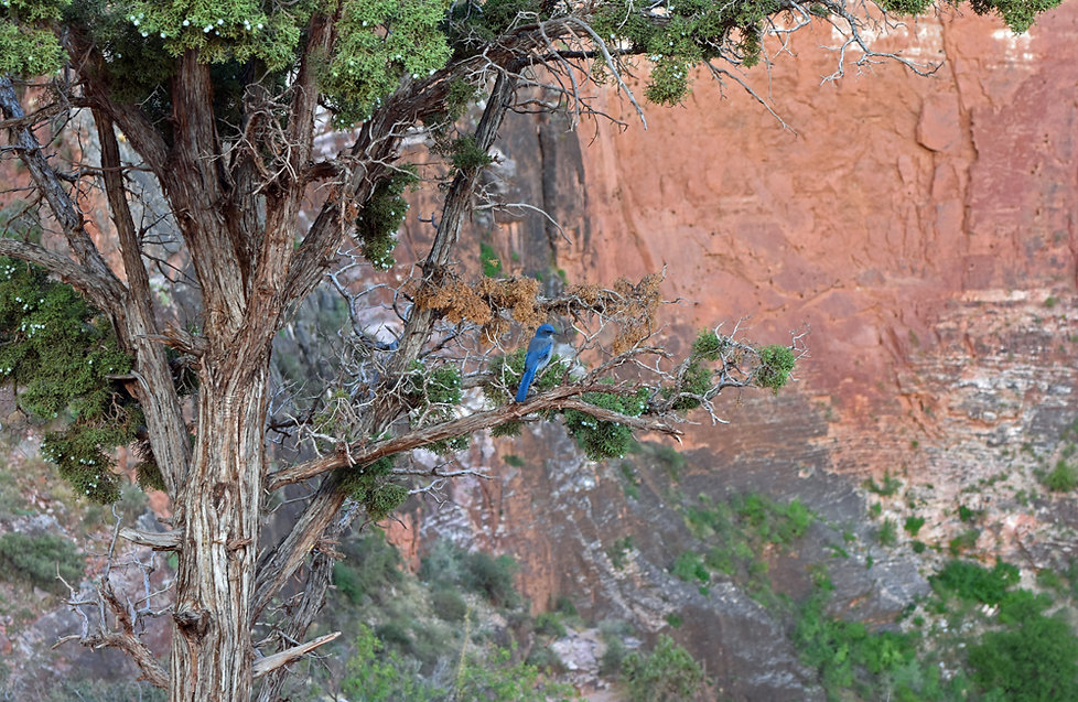 Grand Canyon National Park - Bright Angel Trail - merle bleu