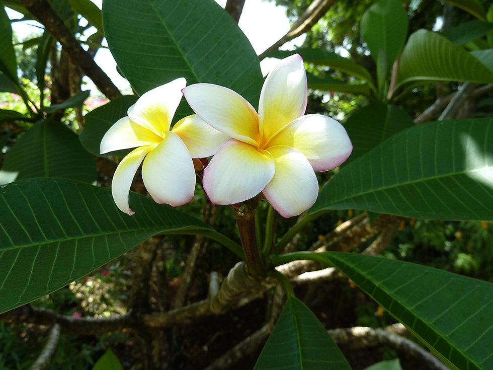 Jardin botanique de Deshaies fleurs de fragipanier