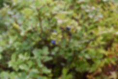 Hljódaklettar Jökulsárgljúfur myrtilles blueberry islande iceland