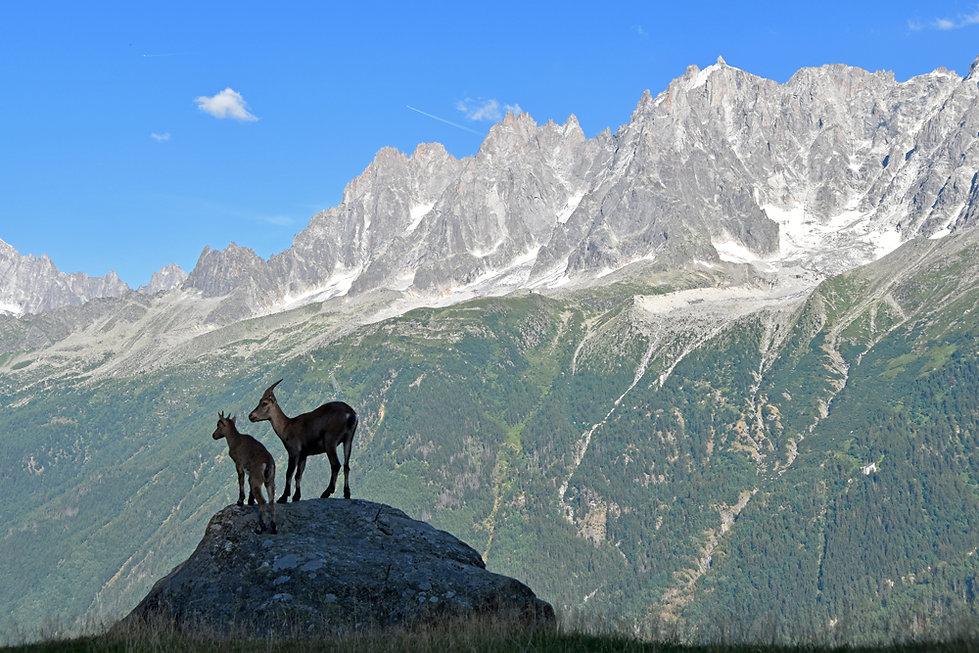 Chamonix - les Houches - Parc de Merlet - bouquetin