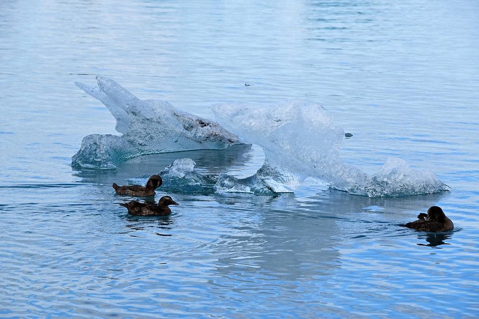 Jokulsarlon iceberg lac glacaire Jökulsárlón eider