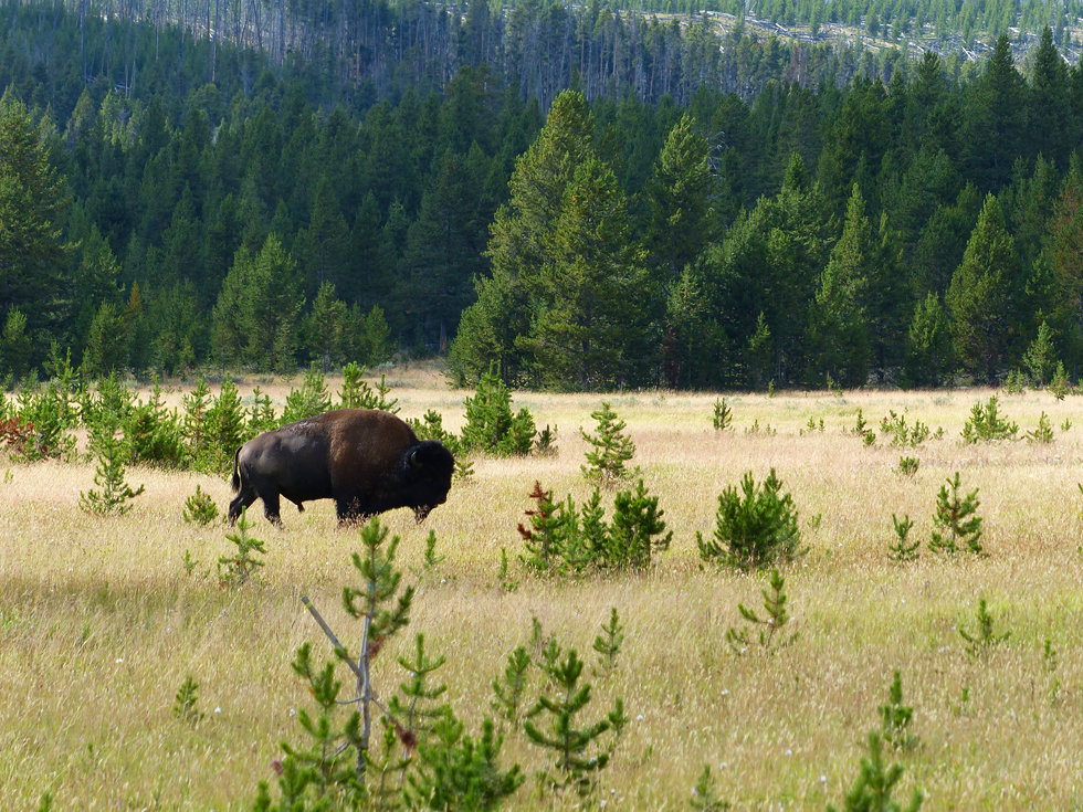 Yellowstone National Park Bison
