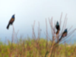 Montauk Point State Park - Quiscales bronzés
