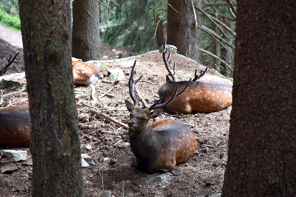 Chamonix - les Houches - Parc de Merlet - Cerf sika