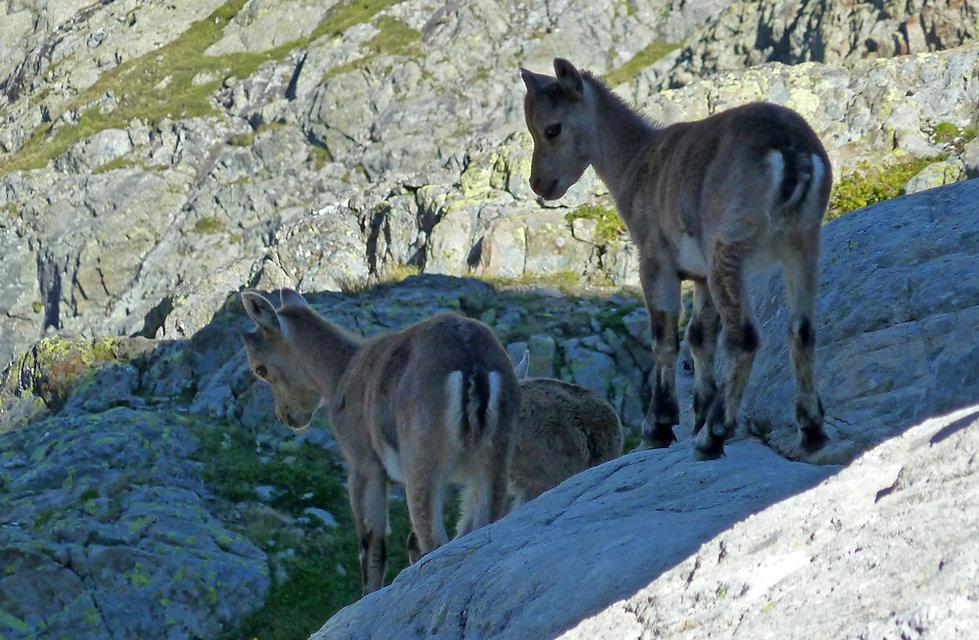 Randonnée - Emosson - Traces dinosaures - Suisse - bouquetins