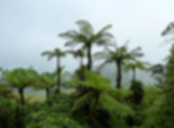 Guadeloupe - Soufrière - fougères arboressantes