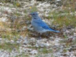 Yellowstone National Park Mountain Bluebird