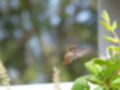 Los Angeles Venice canals colibri hummingbird