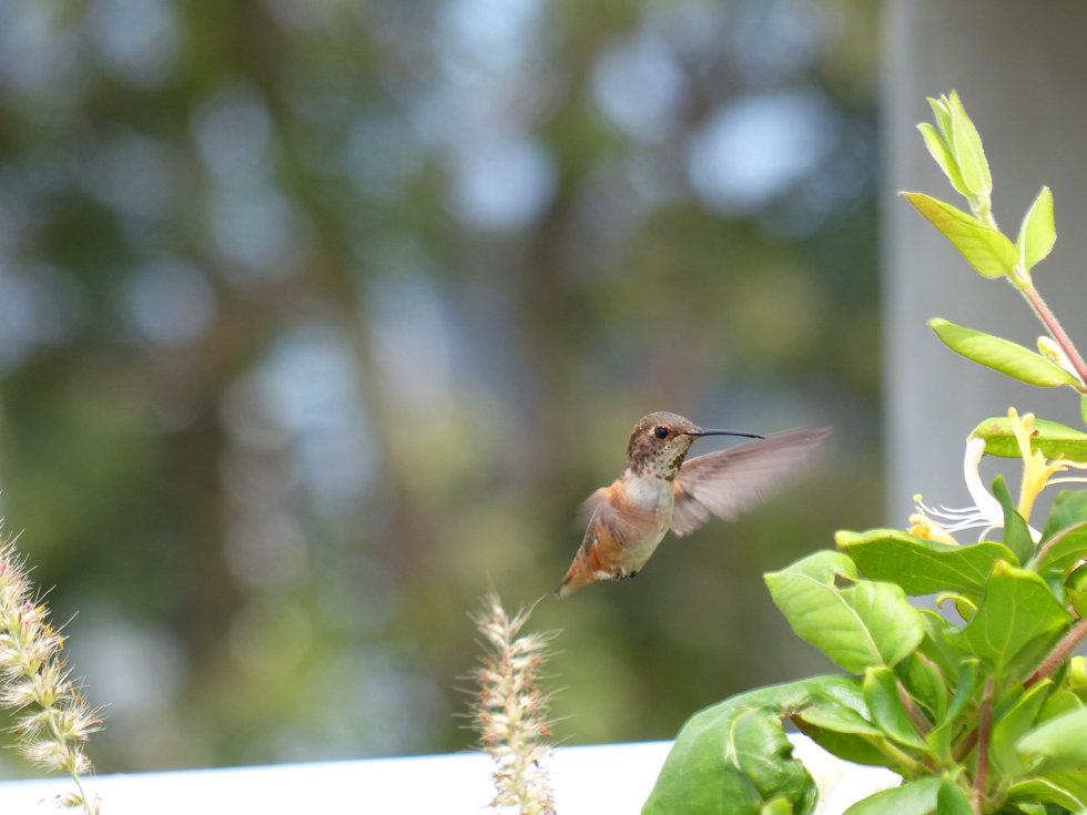 Los Angeles Venice canals colibri hummingbird
