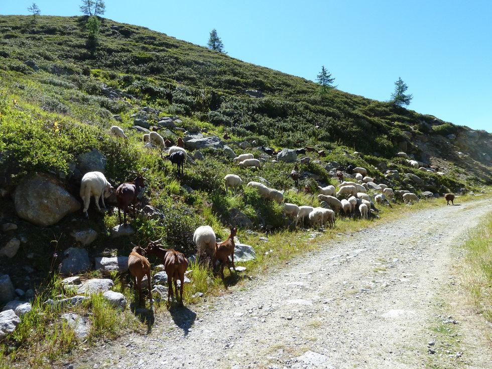 Chamonix - randonnée - glacier d'argentière - alpages - troupeau