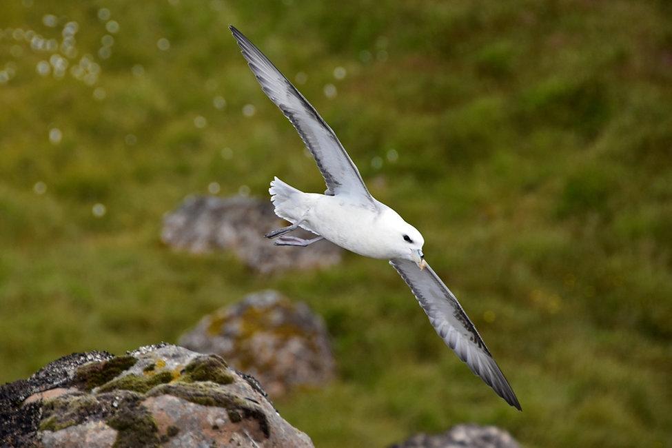 flumar boréal petrel islande iceland bird