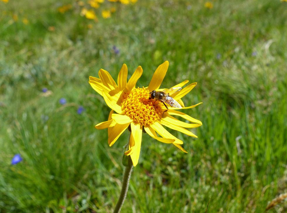 Chamonix - Refuge Albert 1er - fleur - abeille