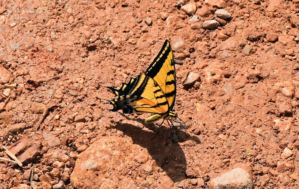 Arizona - Grand Canyon National Park - Bright Angel Trail - papillon