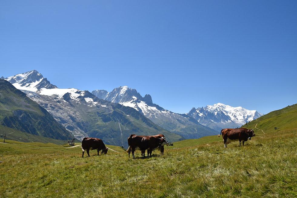 Chamonix - Aiguillette des Posettes - vaches