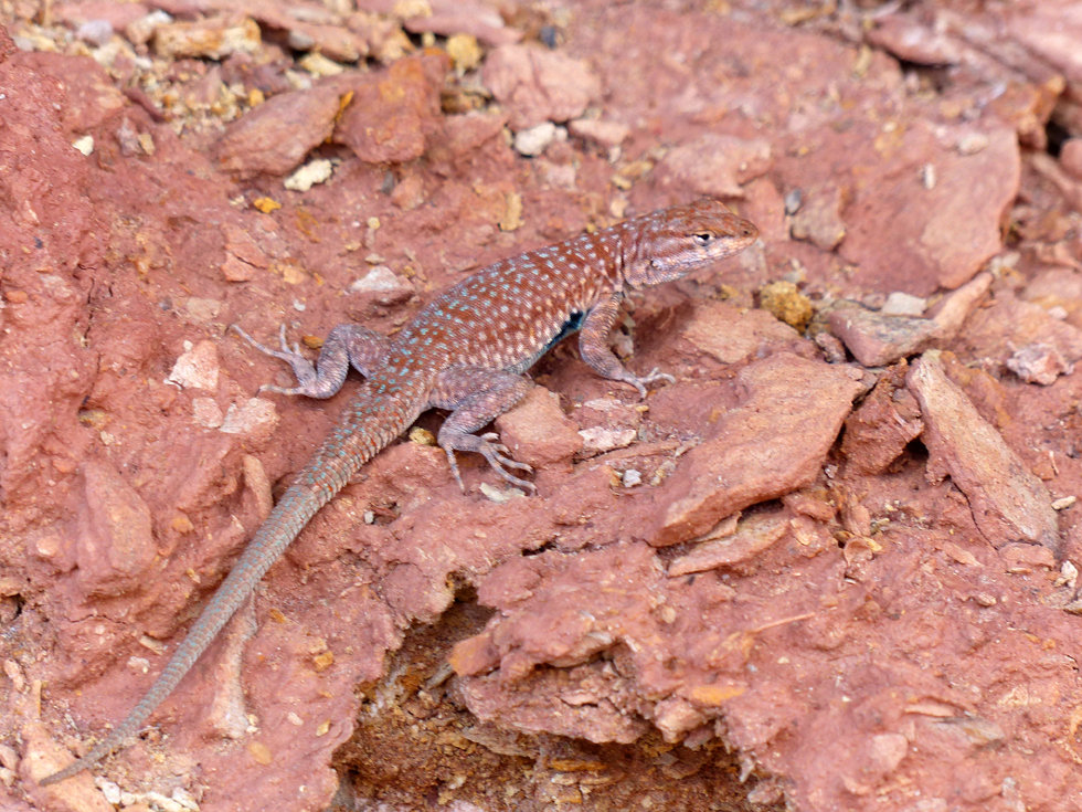 Marble Canyon Cathedral Wash Trail lezard