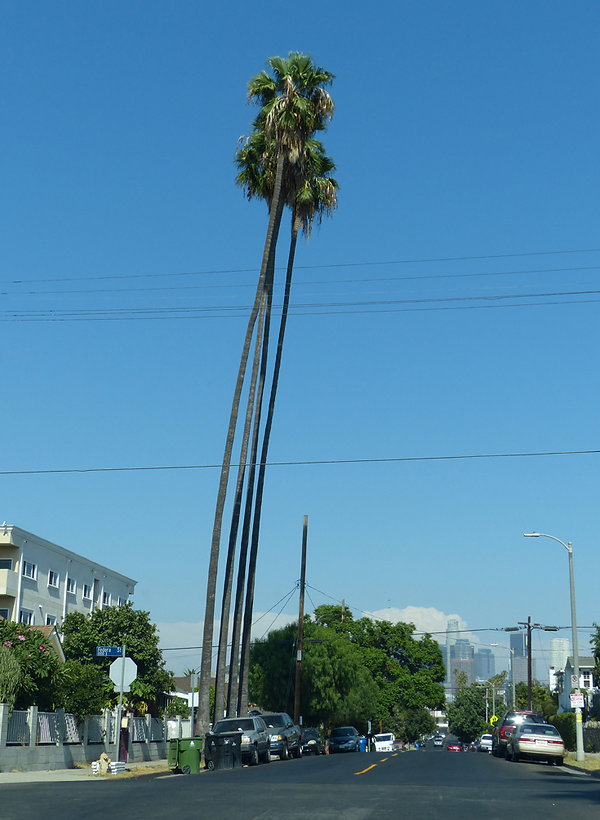 Los Angeles palmiers