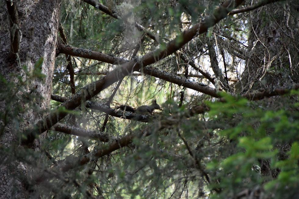Chamonix - Rochers des Mottets - Ecureuil