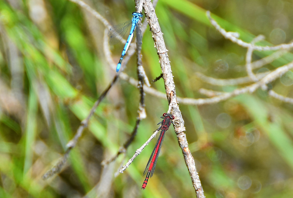 lac vert - passy - plaine joux - libellules