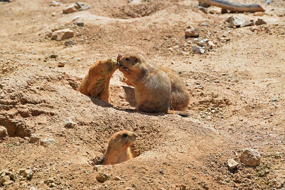 Arizona Sonora Desert Museum - chien prairie