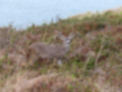 Point Reyes National Seashore - cerf