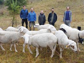 Anadolu Meraları'nın yabani koyunları