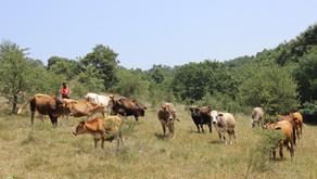 Konvansiyonel Hayvancılık ile Safimera Yaklaşımının Karşılaştırılması