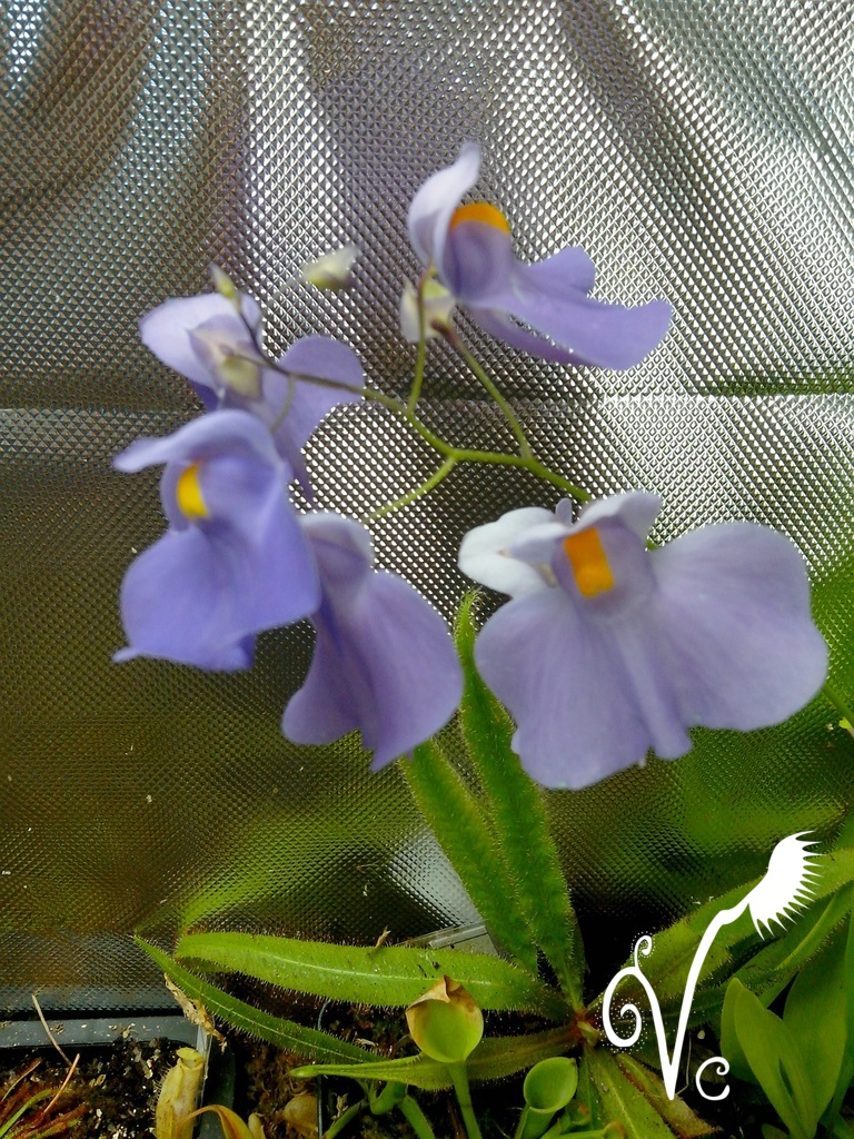 U.Longifolia.jpg