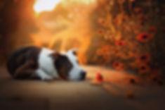Staffordshire_Terrier_liegt_in Blumengarten_beim_Hundefotoshooting in_Burgdorf
