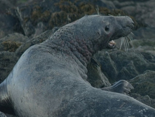 "Music for the documentary ""Grey Seals"""