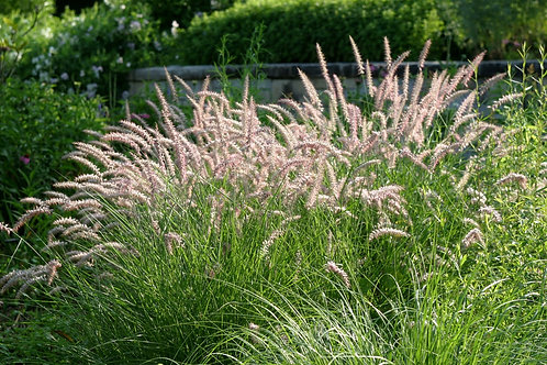 Fountain Grass (Pennisetum Setaceum 'Karley Rose'