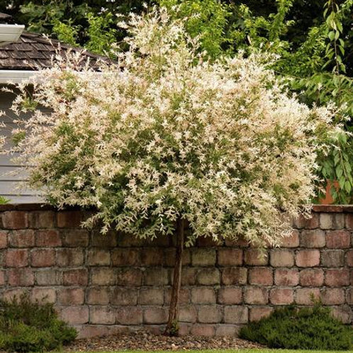 salix integra dapple willow hakuro nishiki deciduous ornamental specimen white cream green pink blooms
