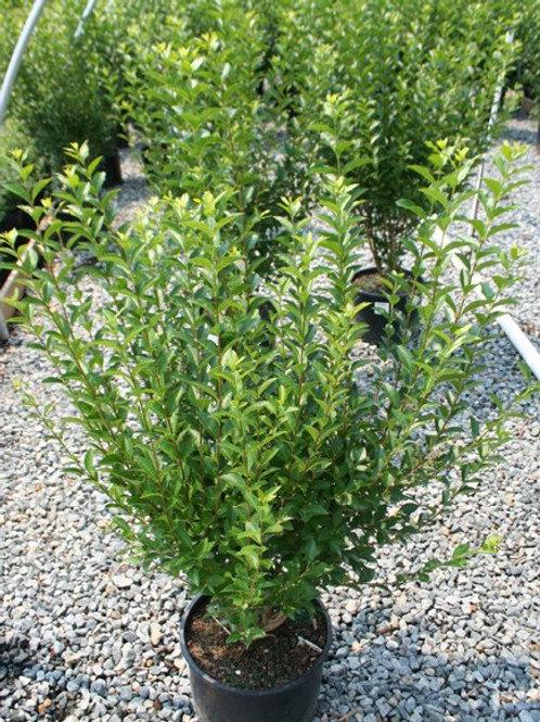 California Privet (Ligustrum Ovalifolium)